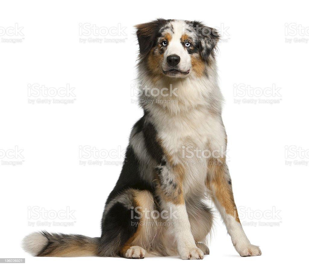 Australian Shepherd dog, 12 months old, sitting stock photo