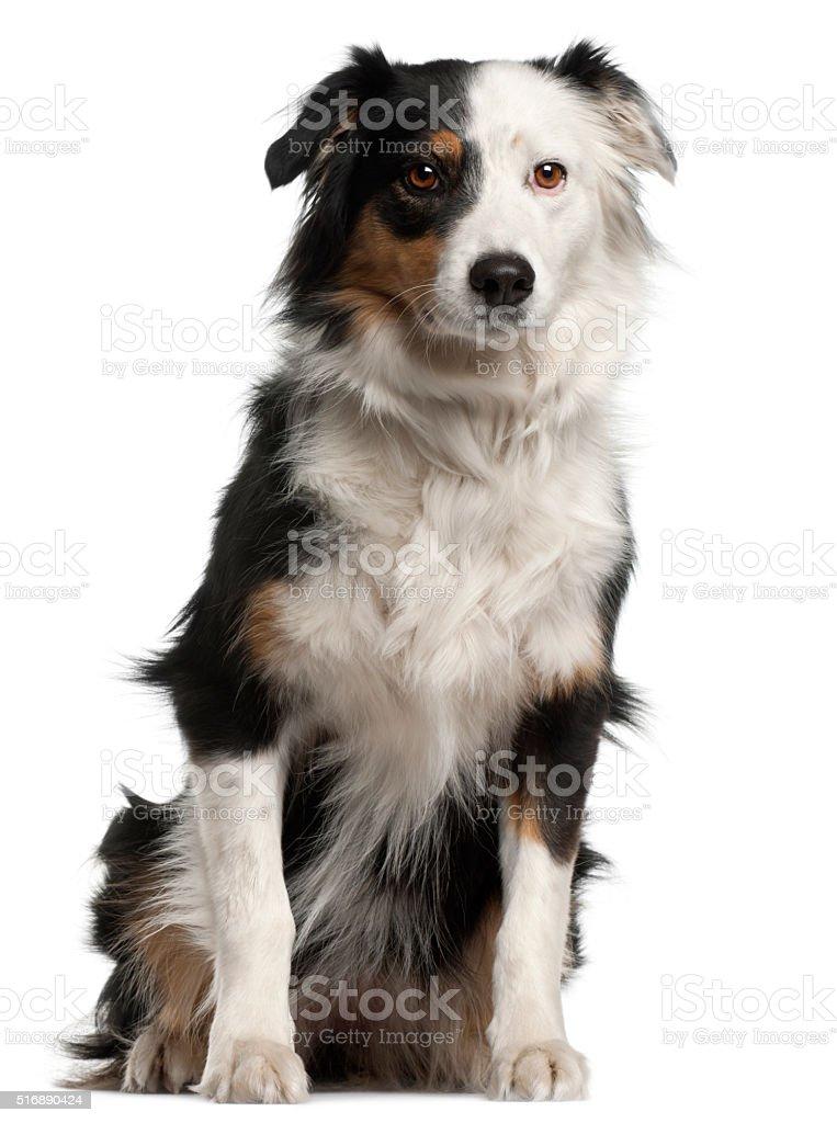 Australian Shepherd dog, 6 years old, sitting stock photo