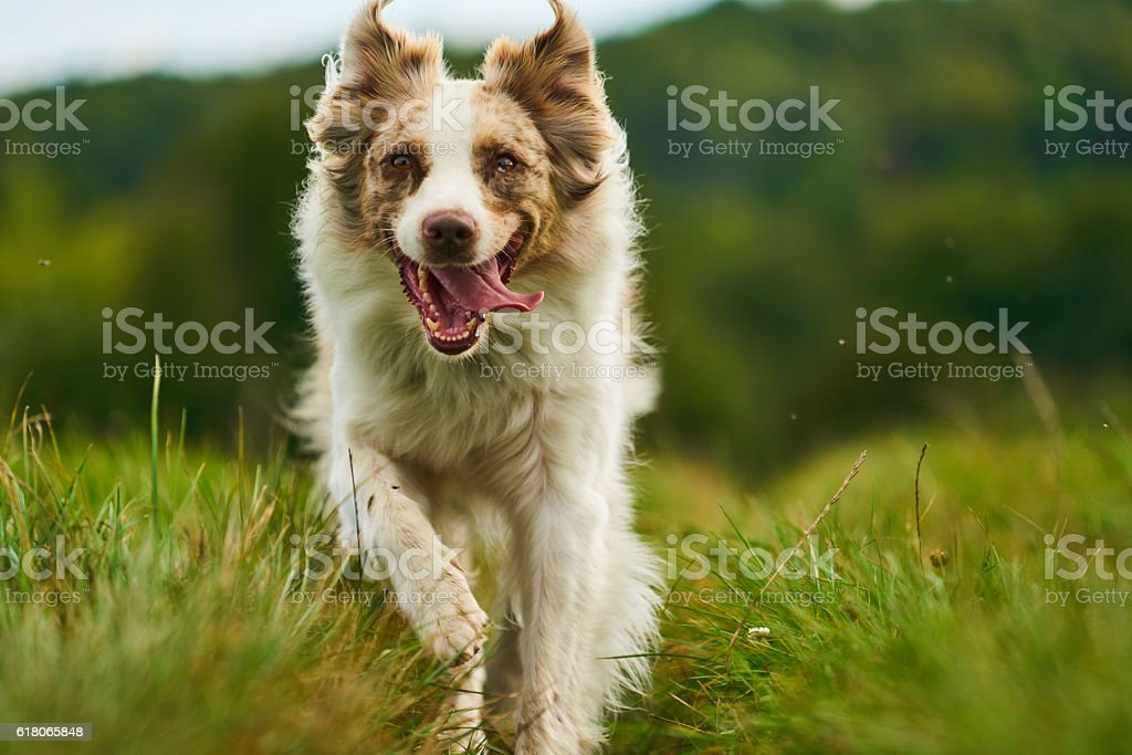 australian shepherd dog in motion stock photo