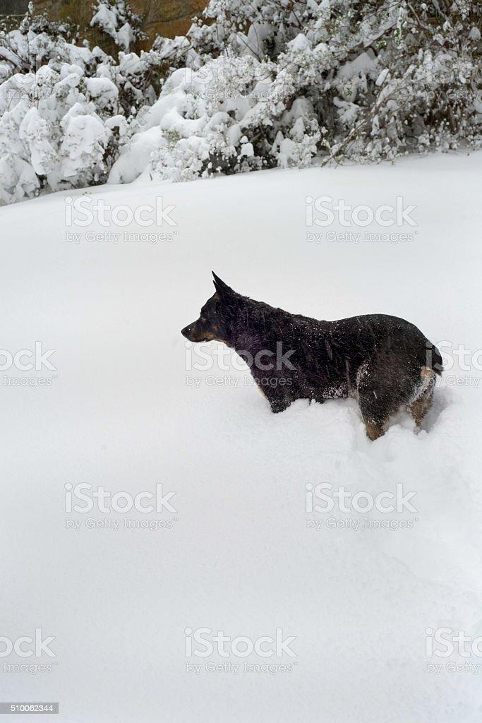 Australian shepherd dog in snow stock photo
