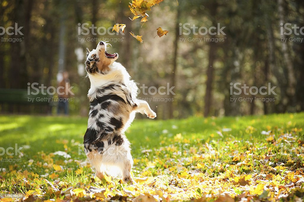 Australian shepherd dog jumping and playing with leaves  royalty-free stock photo