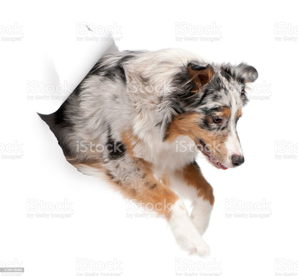 Australian Shepherd dog jumping out of white background stock photo