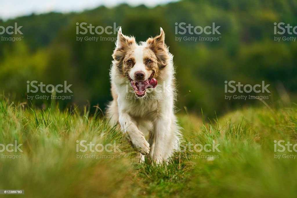 australian shepherd dog running fast stock photo