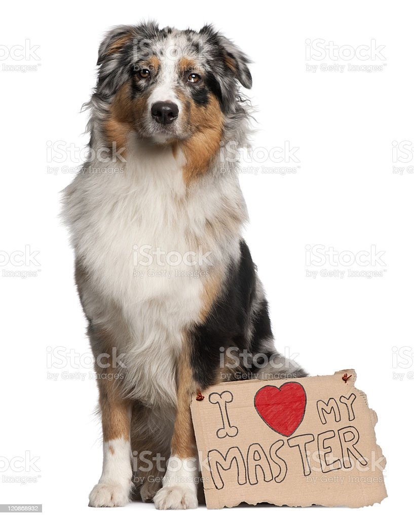 Australian Shepherd dog, sitting, white background with sign royalty-free stock photo