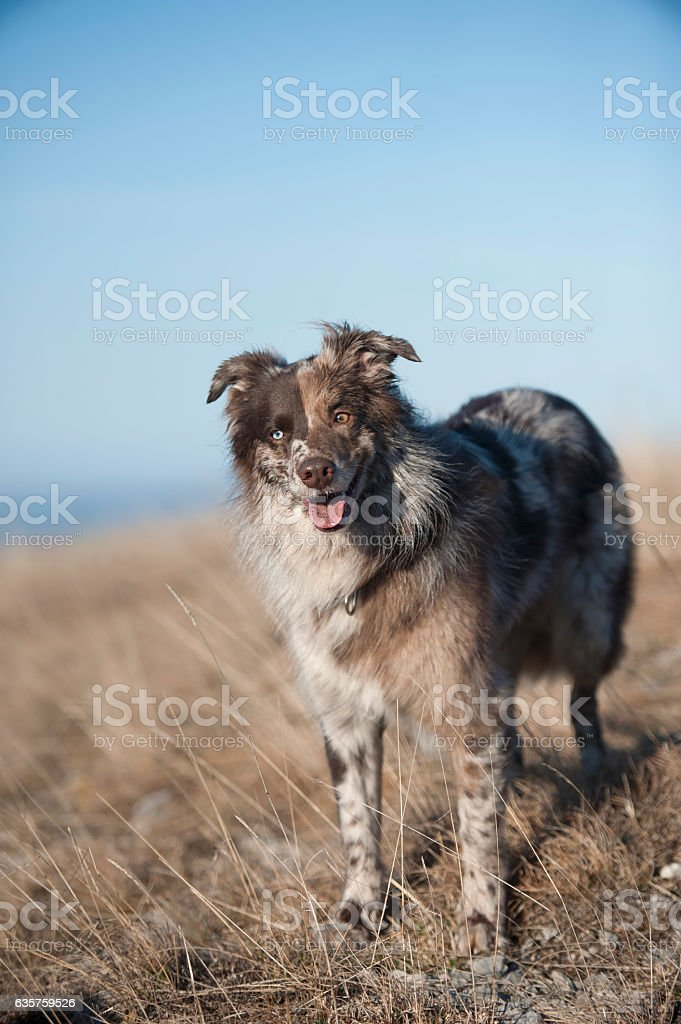 Australian Shepherd dog smiling stock photo