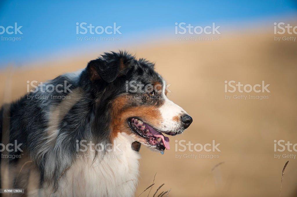 Australian Shepherd head portrait stock photo