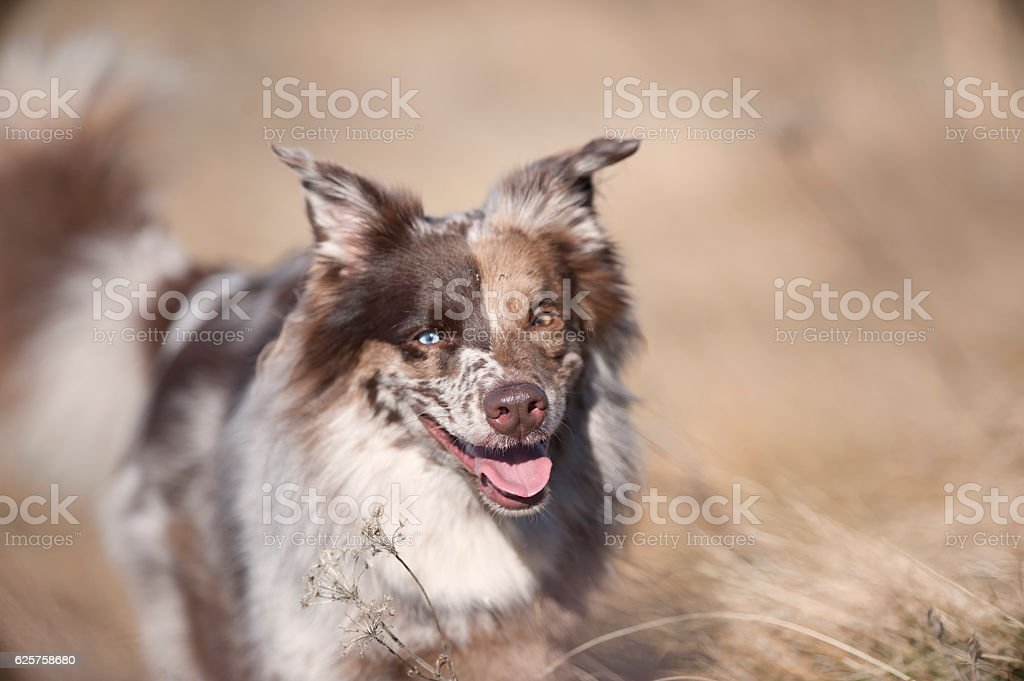 Australian Shepherd in dry grass stock photo