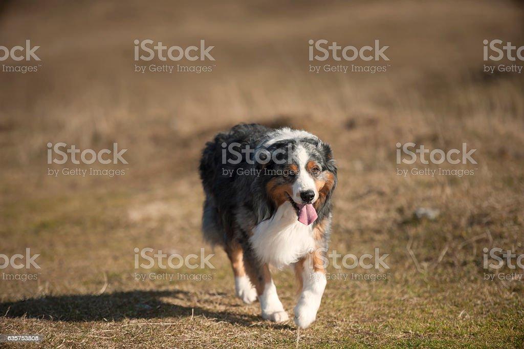 Australian Shepherd in motion stock photo
