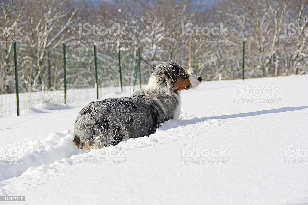 Australian shepherd in snow royalty-free stock photo