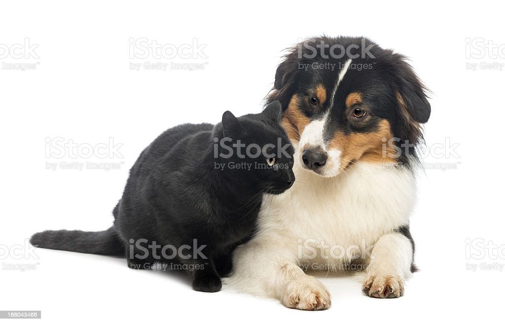Australian Shepherd lying and looking at a Black Cat stock photo