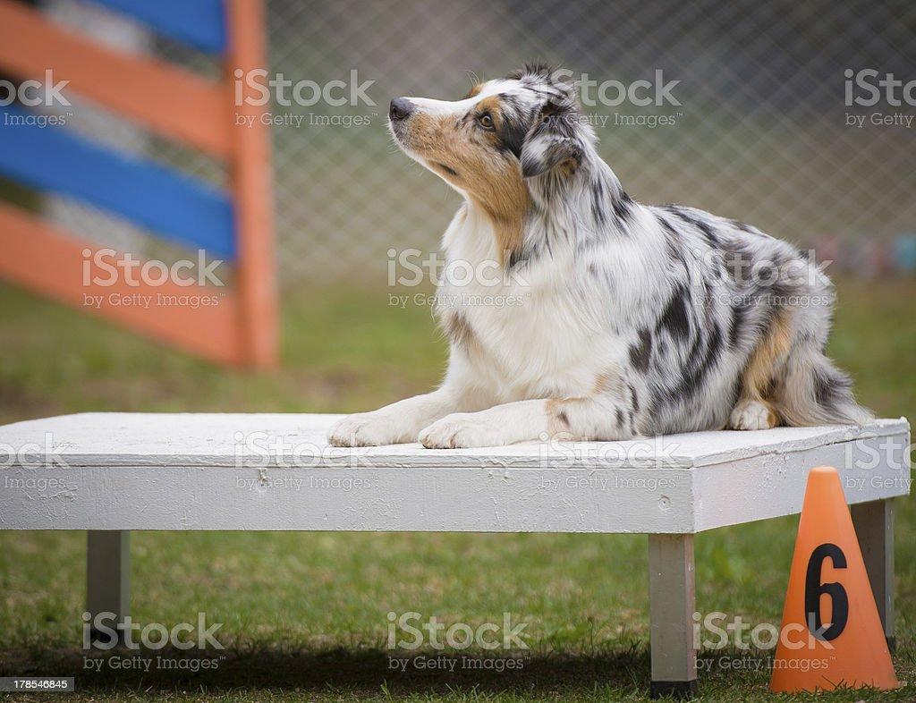 Australian Shepherd on agility Table royalty-free stock photo