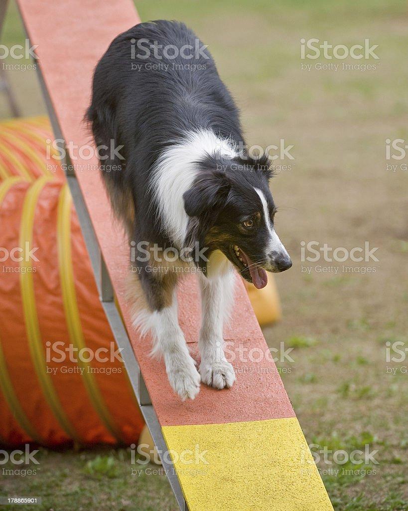 Australian Shepherd on agility Walkway royalty-free stock photo