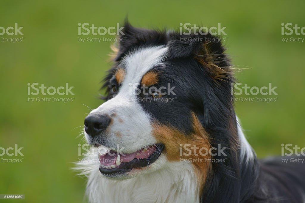 Australian Shepherd stock photo