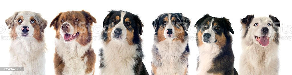 australian shepherd stock photo