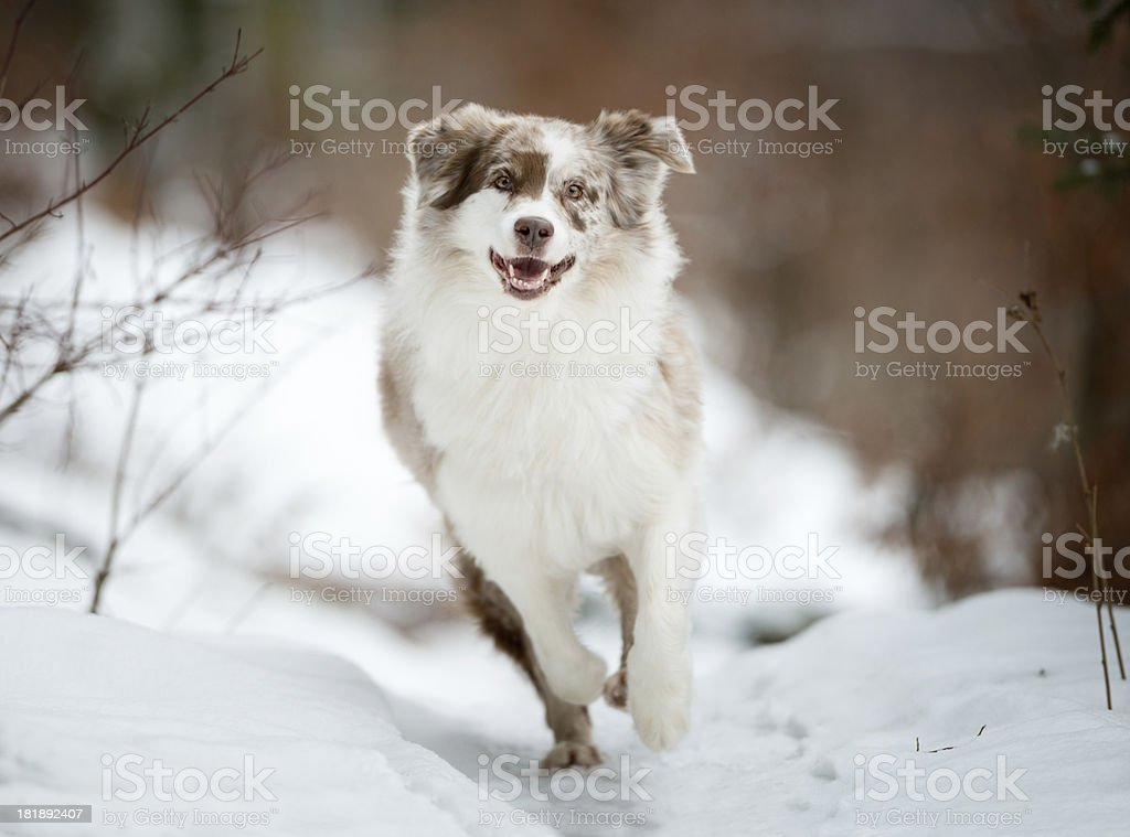 Australian Shepherd playing outside in the Snow royalty-free stock photo