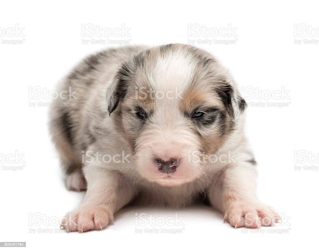 Australian Shepherd puppy, 18 days old, lying against white background stock photo