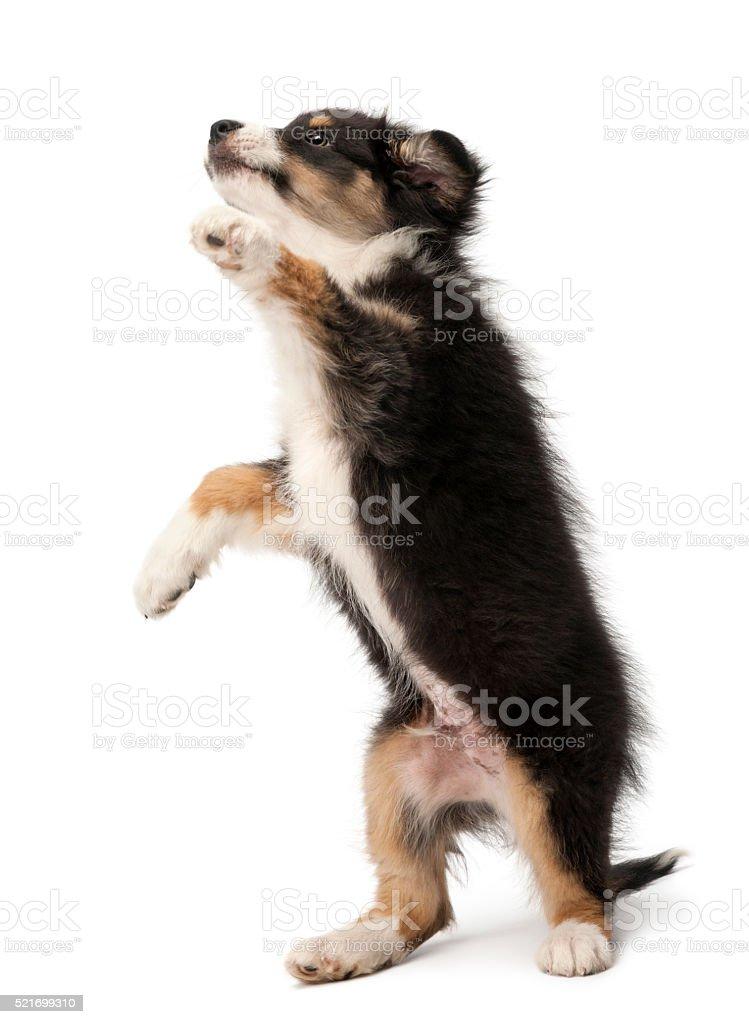 Australian Shepherd puppy, 2 months old, standing on hind legs stock photo