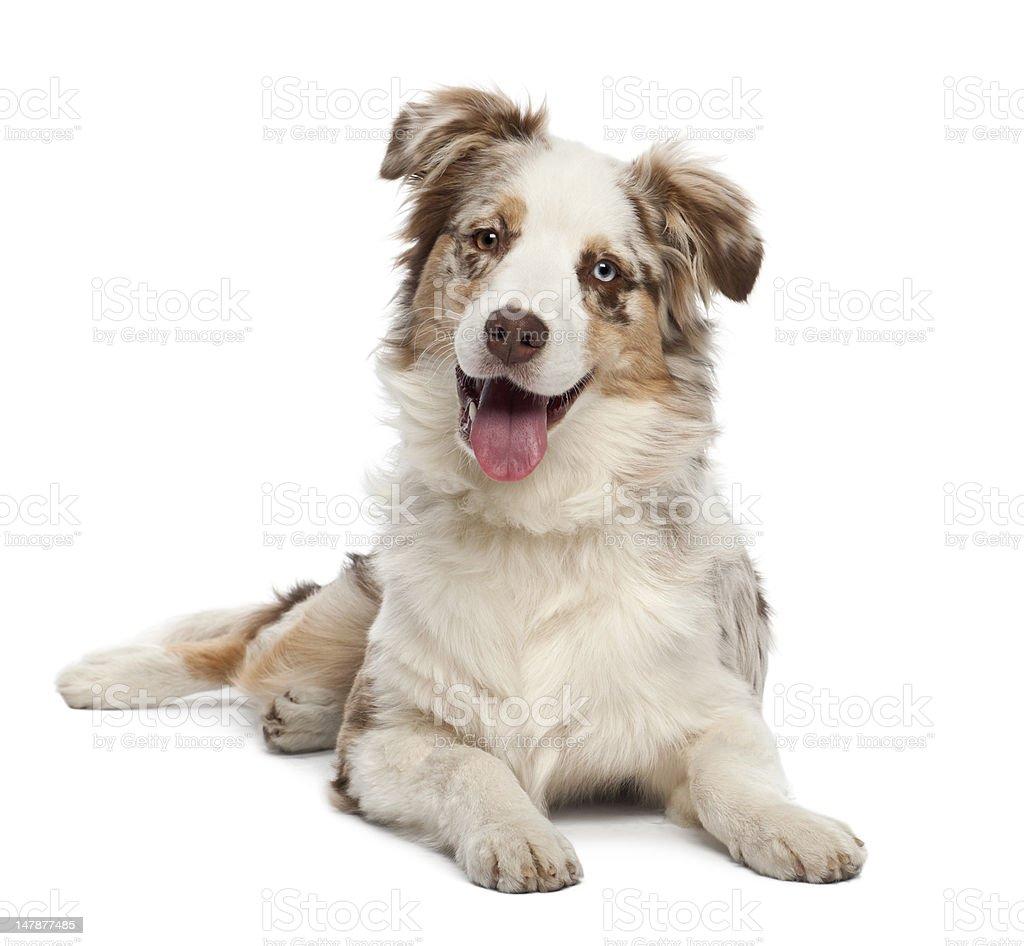 Australian Shepherd puppy, 6 months old, portrait against white background stock photo