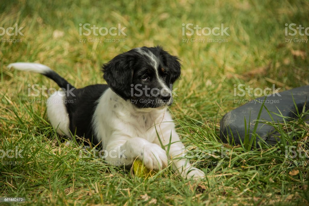 Australian Shepherd puppy playing with toy ball on green grass stock photo