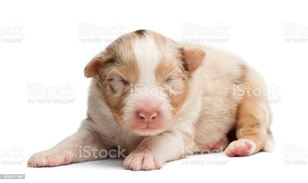 Australian Shepherd puppy sleeping, 12 days old against white background stock photo