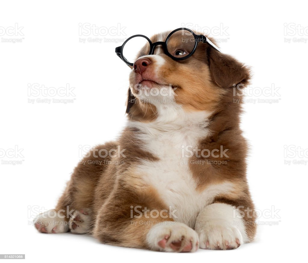Australian shepherd puppy wearing glasses, isolated on white stock photo