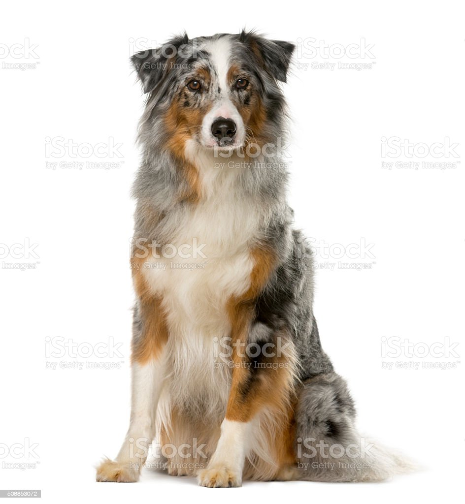 Australian Shepherd sitting in front of a white background stock photo