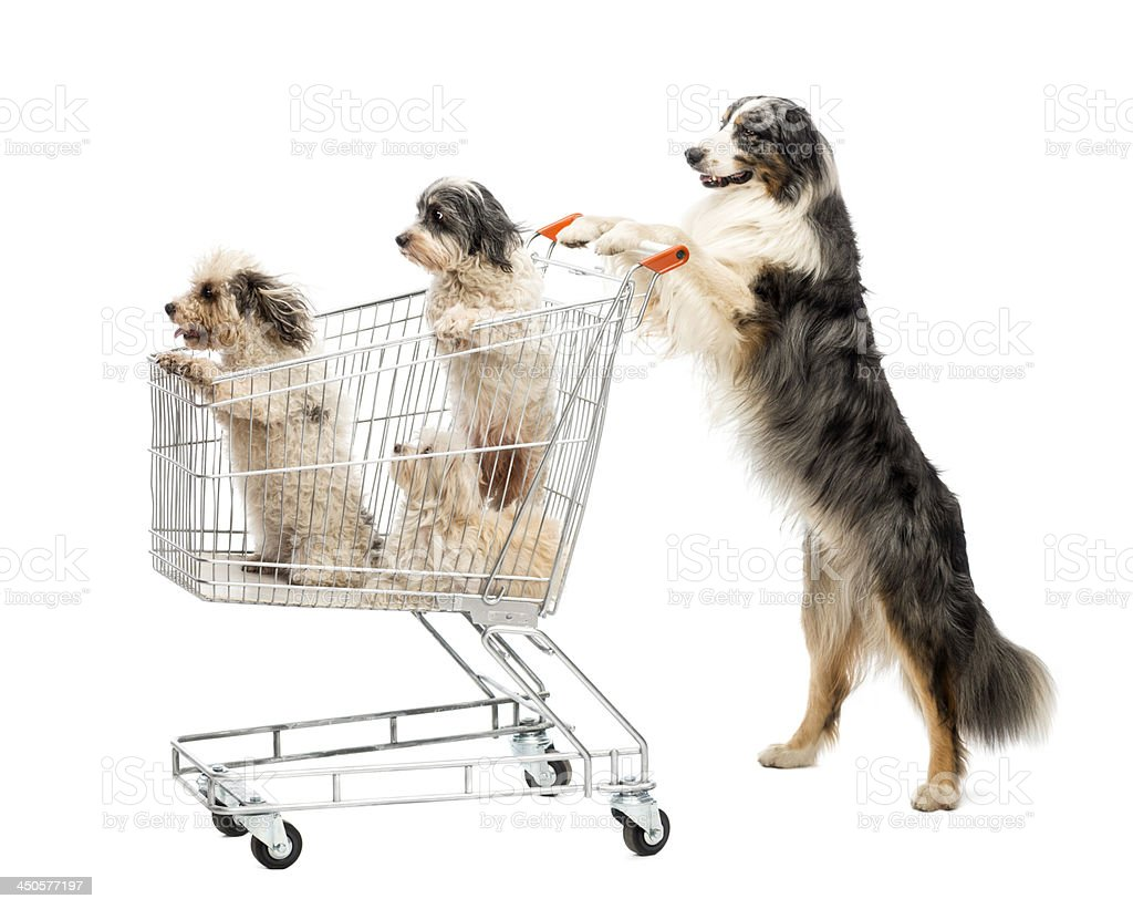 Australian Shepherd standing on hind legs and pushing a shopping stock photo