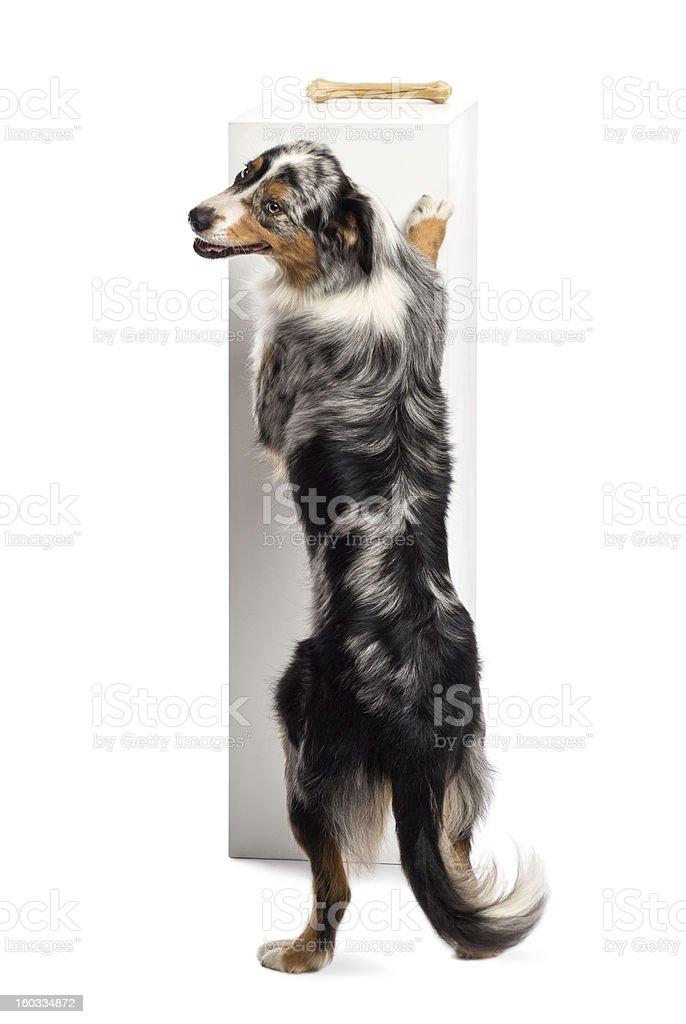 Australian Shepherd standing on hind legs royalty-free stock photo