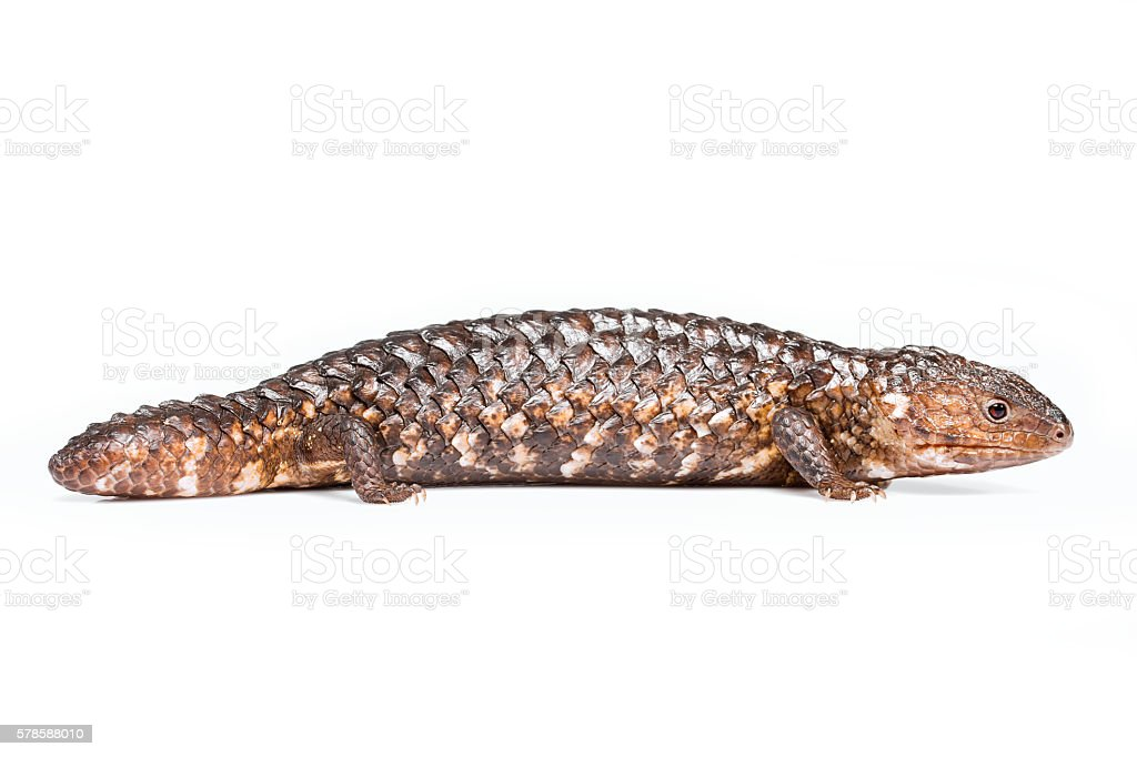 Australian Shingleback Lizard isolated on white stock photo