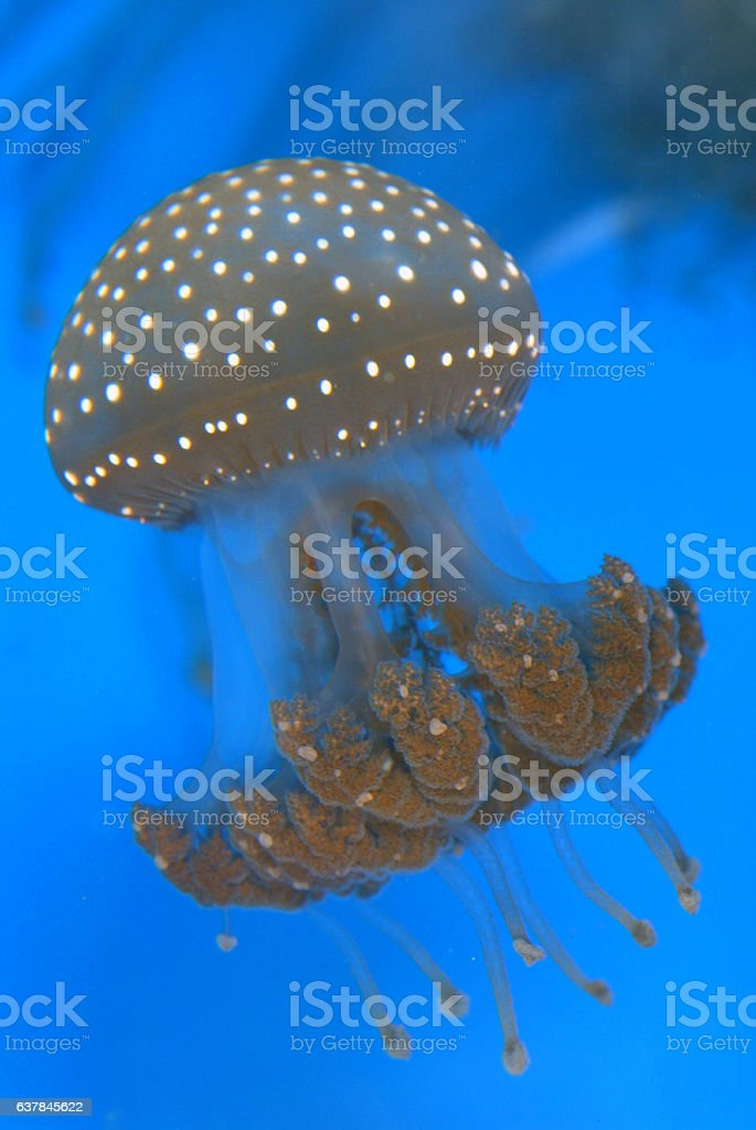 Australian Spotted Jellyfish stock photo