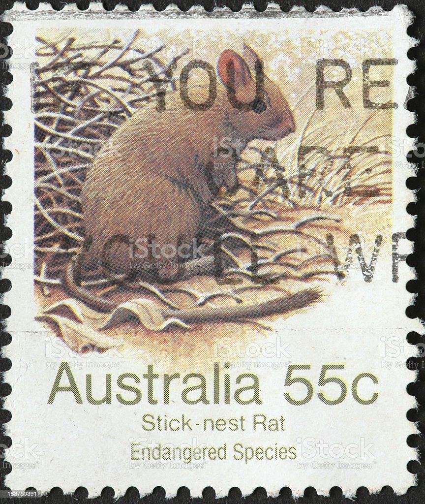 Australian stick-nest rat stock photo