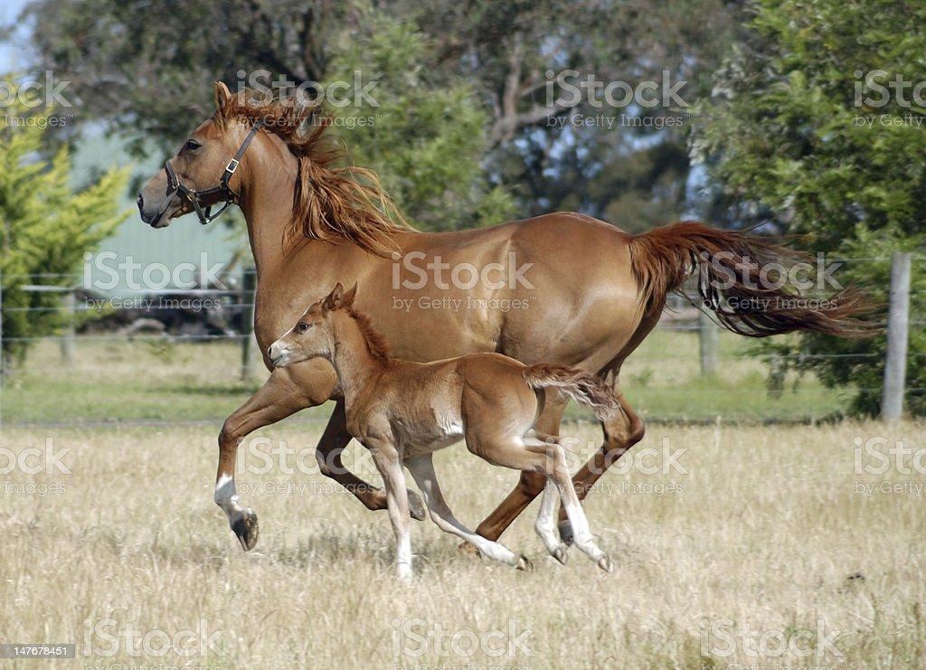 Australian Stock Horse and foal royalty-free stock photo