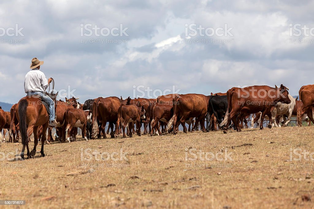 Australian Stockman with cattle stock photo