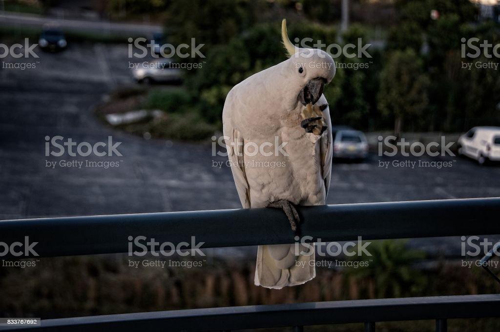 Australian Sulphur Crested Cockatoo close-up stock photo