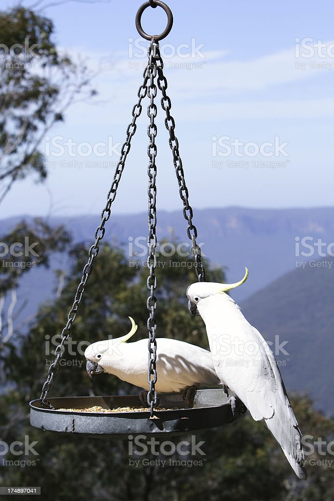 Australian sulphur crested cockatoos royalty-free stock photo