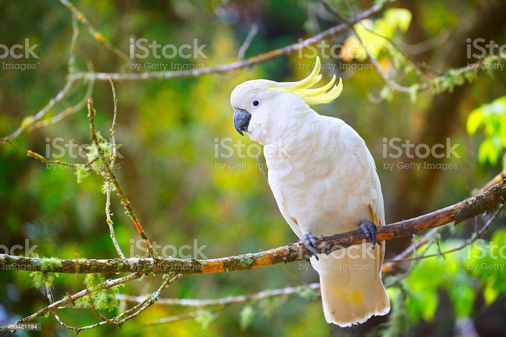 Australian Sulphur-crested cockatoo stock photo