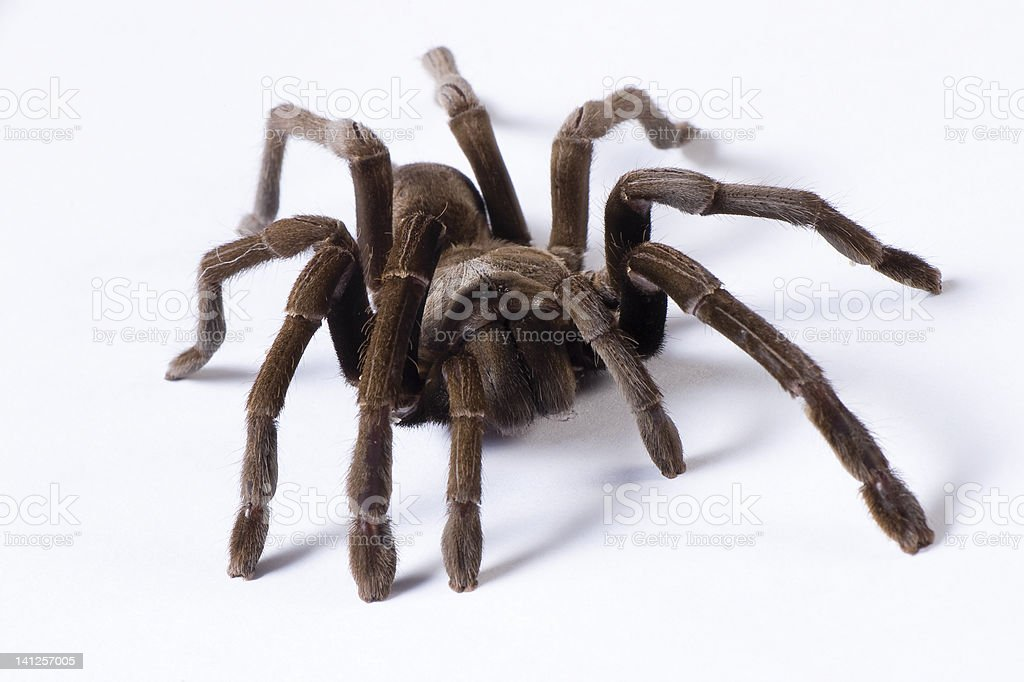 Australian Tarantula on a white background. stock photo