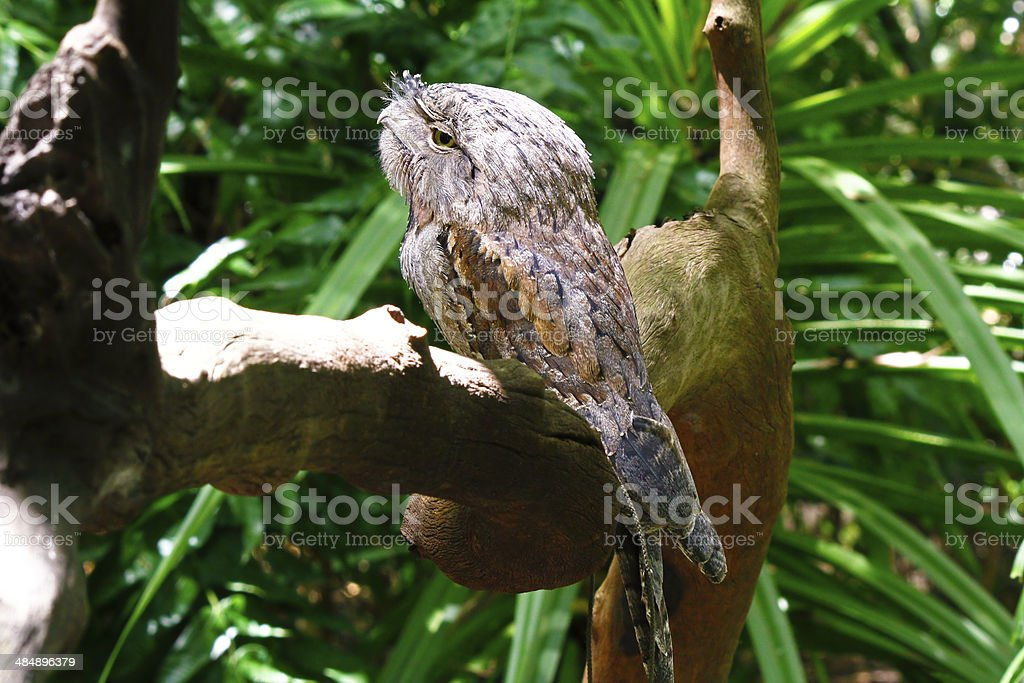 Australian Tawny Frogmouth Owl stock photo