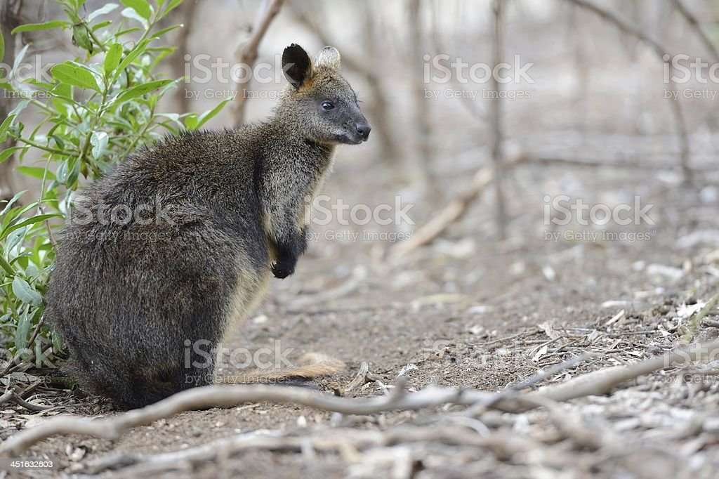Australian Wallaby in the Outback royalty-free stock photo
