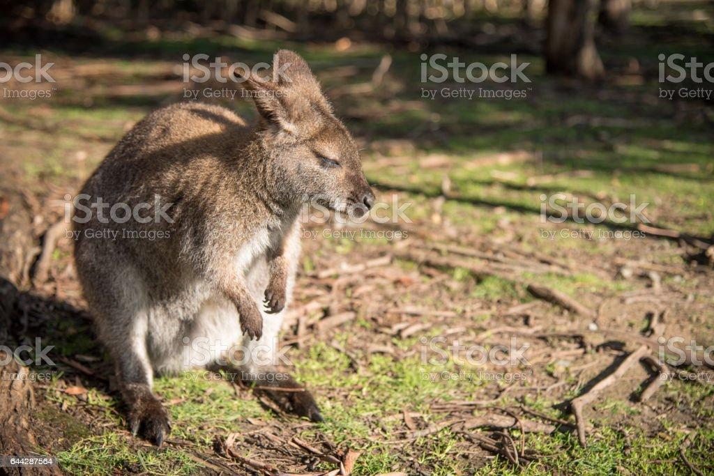 Australian wallaby, wildlife animal in Australia stock photo