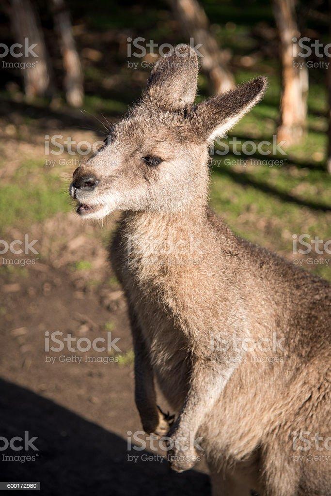 Australian wallaby, wildlife animal stock photo