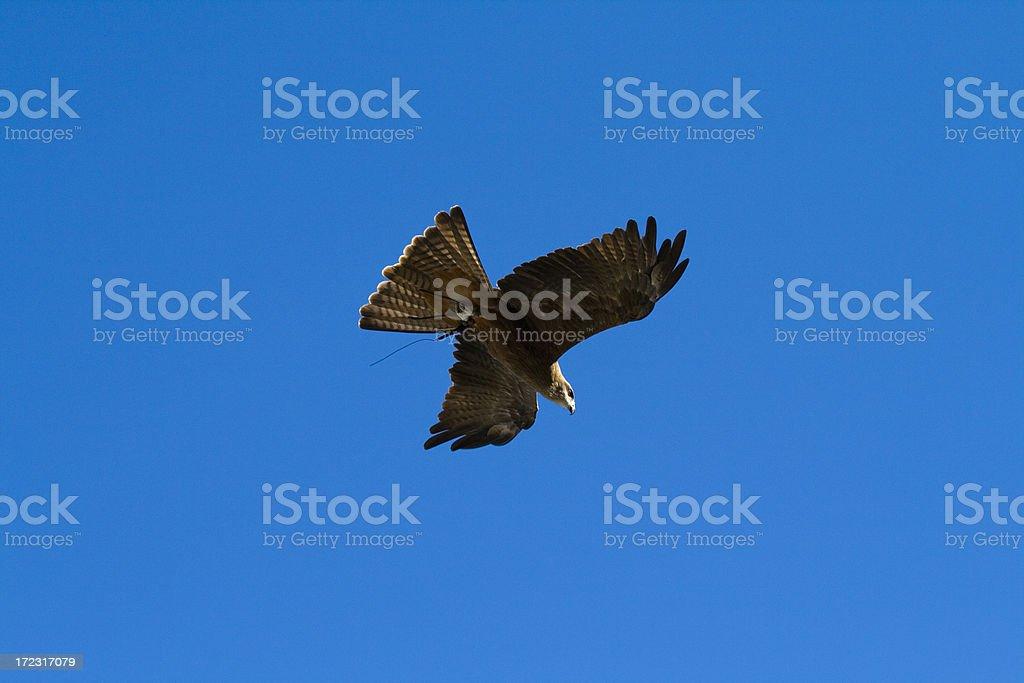 Australian Wedge Tailed Eagle stock photo