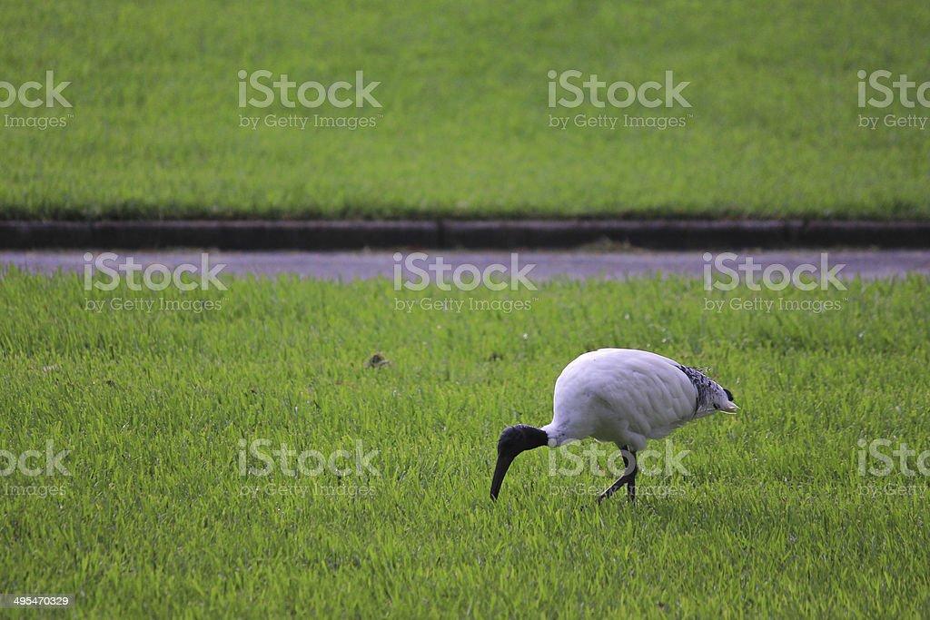 Australian White Ibis bird stock photo