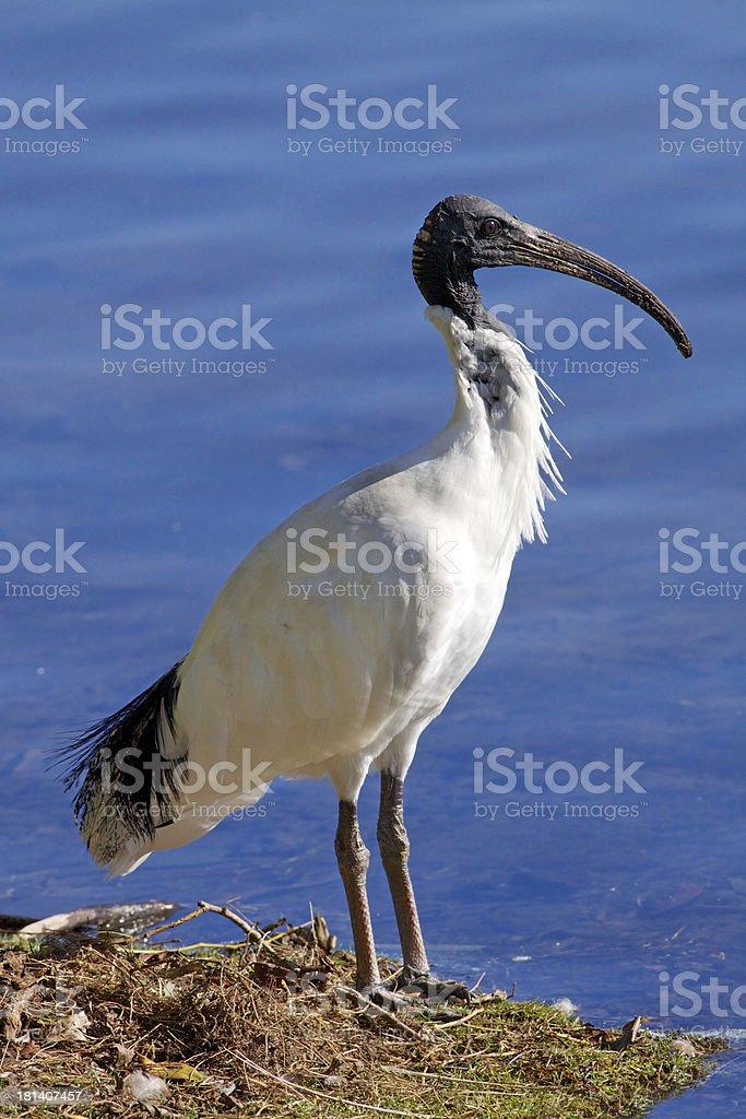 Australian White Ibis royalty-free stock photo