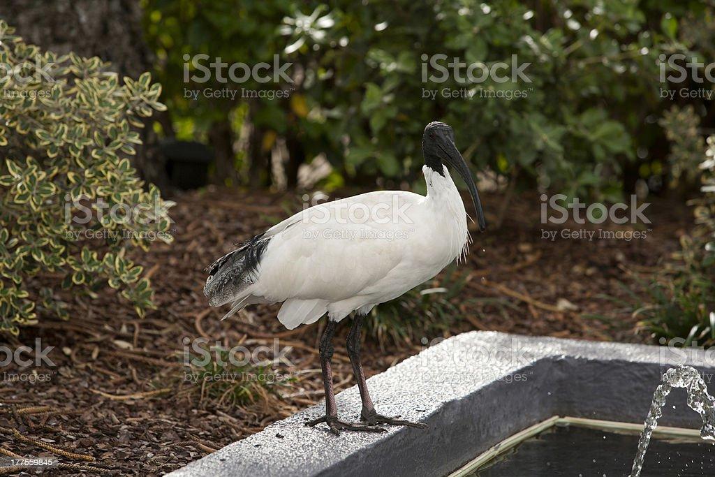 Australian White Ibis  -  Threskiomis Molucca stock photo