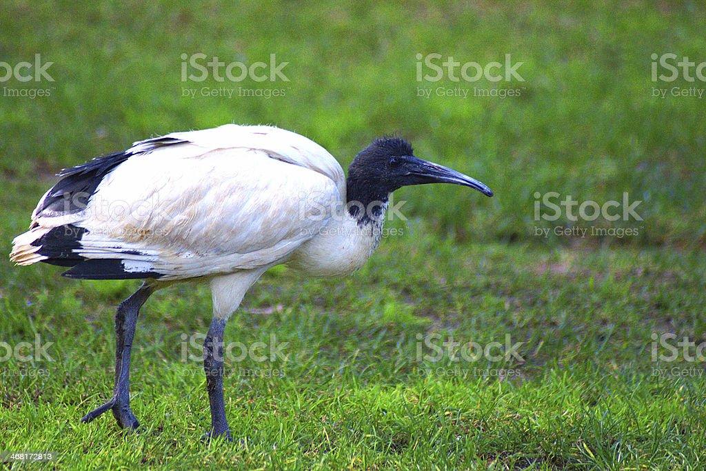 Australian white ibis walking in a meadow stock photo