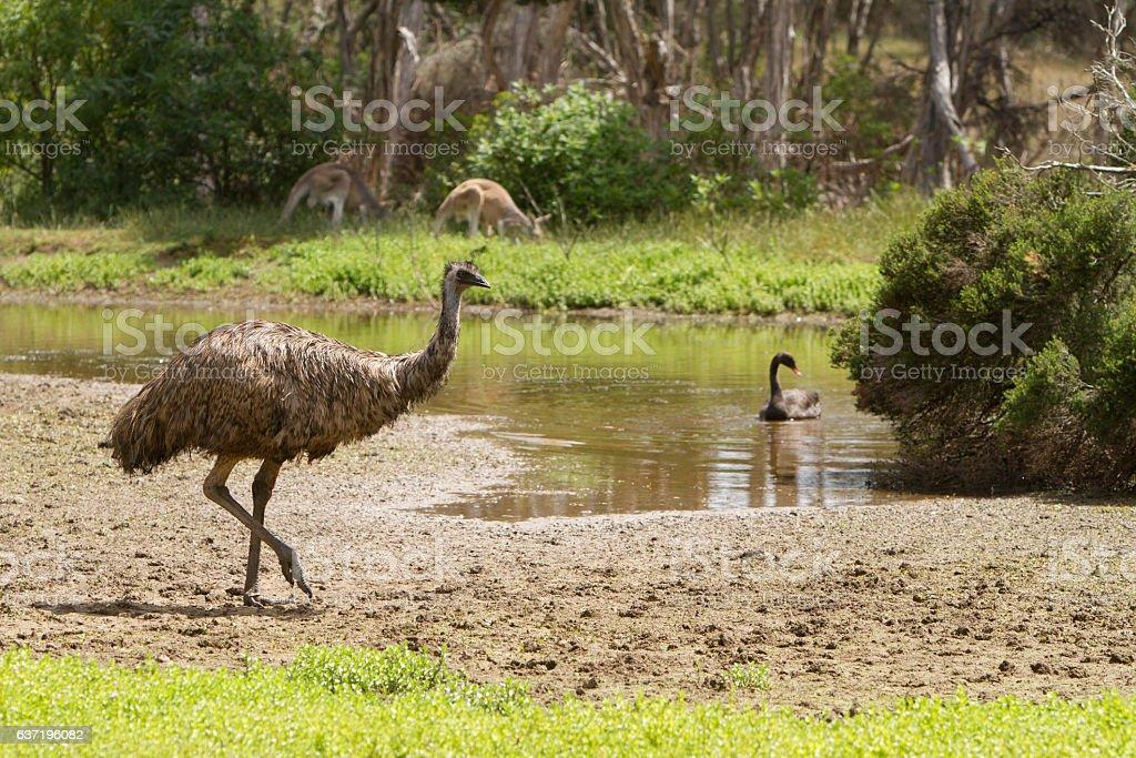 Australian Wildlife at the Water Hole stock photo