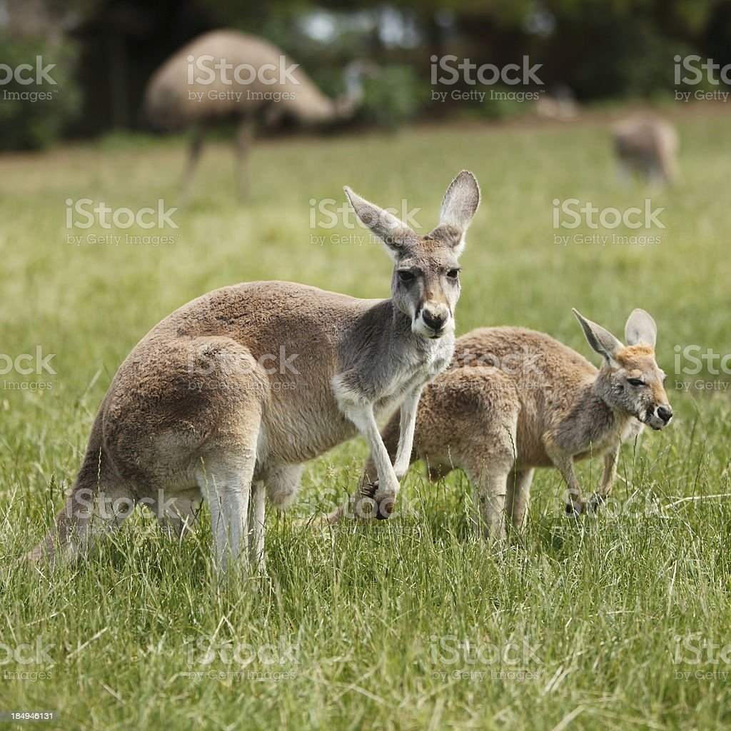 Australian Wildlife stock photo