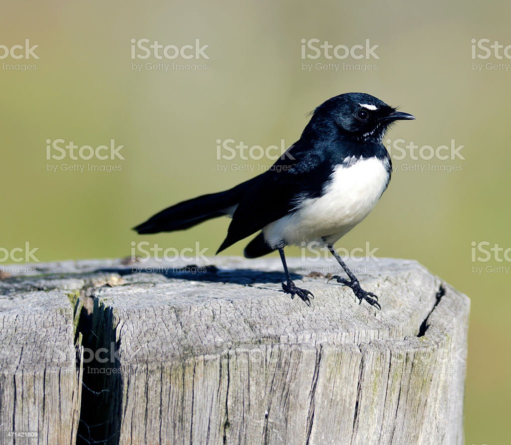 Australian willy wagtail stock photo