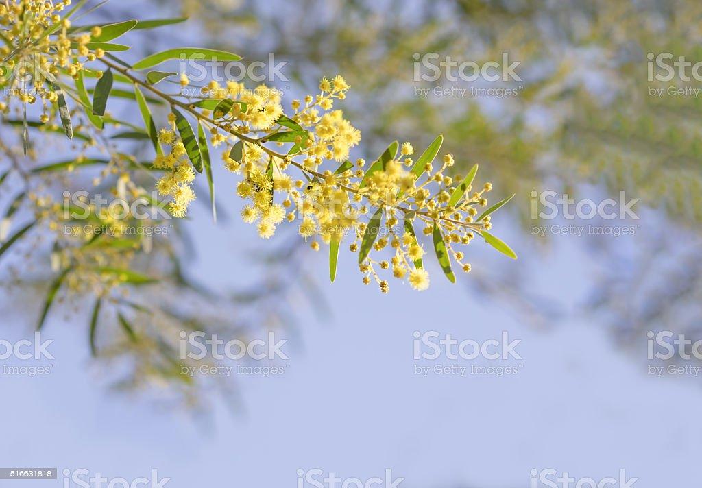 Australian yellow spring flowers Acacia fimbriata Brisbane Golde stock photo